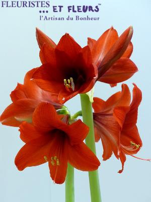 Astrologie de la fleur le b lier et l 39 amaryllis for Les amaryllis fleurs