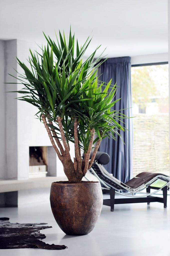 Le yucca jolie plante au charme exotique id al pour votre for Plante interieur exotique